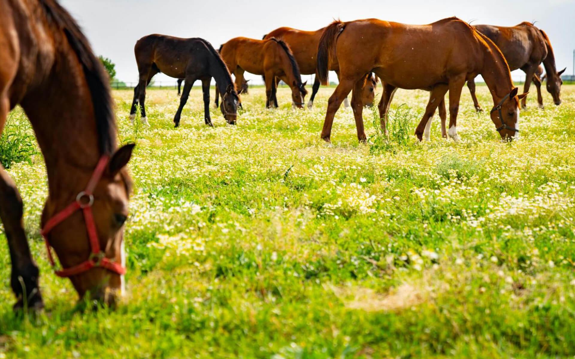 коне пасат трева на поляна