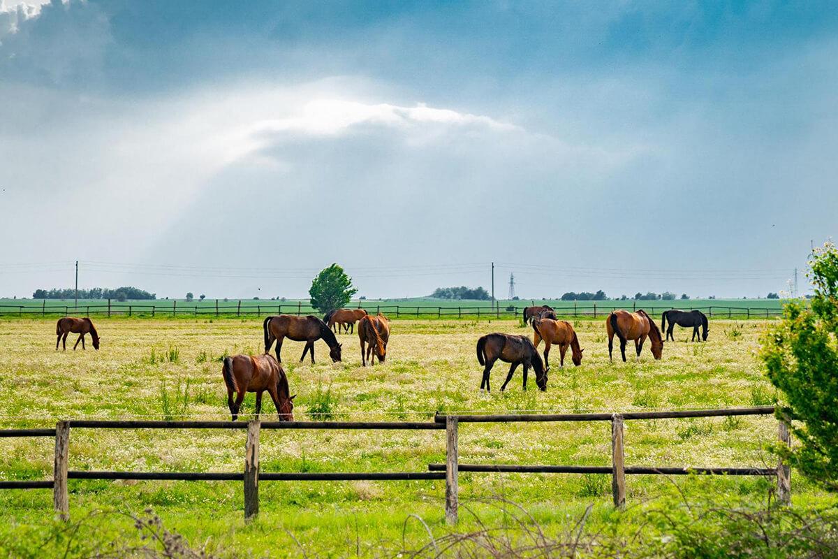 коне на зелена поляна пасат трева